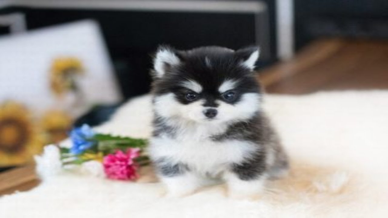 Cutest Teacup Puppies Video Compilation Ever