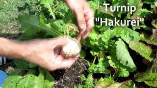Harvest Salad From A Raised Bed Vegetable Garden