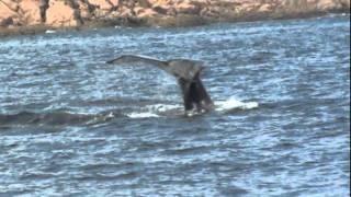 Baleines Folles dans le Parc Marin Saguenay St-Laurent, Tadoussac,Québec, Canada