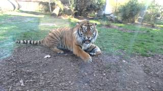 Zoo Wroclaw - agresywny tygrys - aggressive tiger