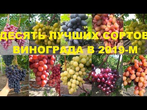 Десятка лучших сортов винограда по итогам 2019
