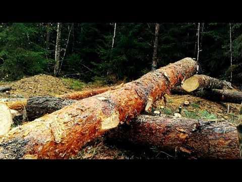 Лес в Брянске - куда он девается?