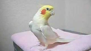 The cockatiel sings the theme of Zelda