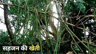 घर के पीछे सहजन की खेती करें || sahjan ki kheti || Drumstick farming
