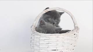 Смешные британские  котята играют в корзинке - коты и кошки 2019 - приколы с котами