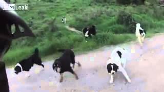 Неопытный велосипедист встретил свору собак(, 2012-11-01T16:09:26.000Z)