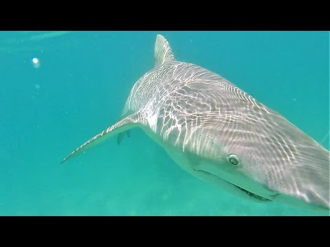 Big Shark in Skinny Water