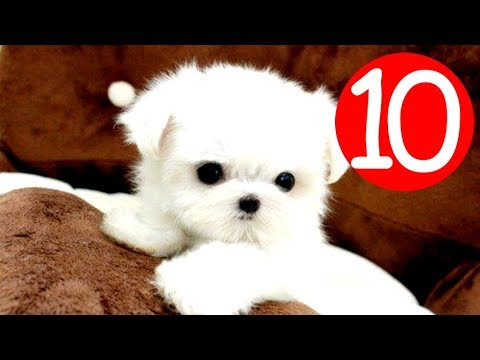 Top 10 Small Fluffy Dog Breeds - Puppies and Full Grown