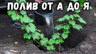 Как правильно поливать виноград? От А до Я