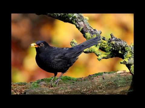 Blackbird and birdsong in the garden, nature sounds