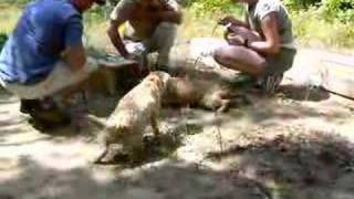 Border Terrier Earthdog Introduction