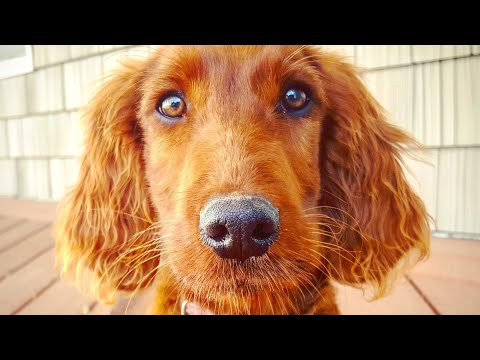 BEAUTIFUL Irish Setter Puppy In Training - Service Dog or Therapy Prospect - Lola