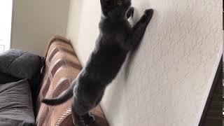 Кошка гавкает
