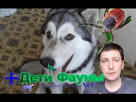 Пироплазмоз симптомы. Собаку укусил клещ. Автор ветеринар
