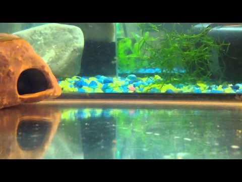 Everything you need to know about Pelvicachromis pulcher or kribensis cichlids