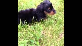 Nichole337 Oreo Dachshund Puppy