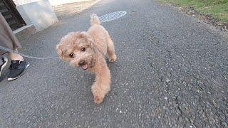 苦手なハーネスでの散歩を克服してドヤ顔する犬が可愛いw【トイプードル】