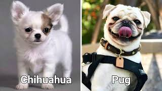 Top 10 awesome mixed cross breeds of Chihuahua | Chihuahua Mix Breeds