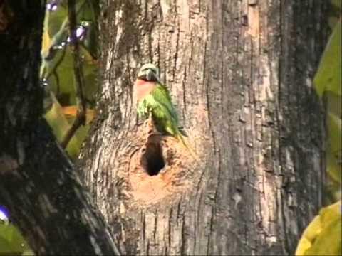 Розовогрудый ожереловый попугай Psittacula alexandri