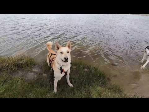 Water Dog Wednesday Belgian Malinois Husky mix water retrieves