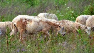 Рассказ о Катумских овцах. Фермер Лебедь О.С. Фермерское хозяйство
