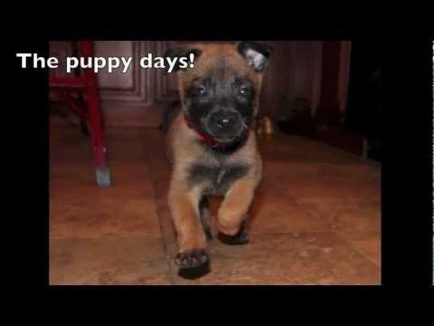 Belgian Malinois Khaos training from puppy to adult