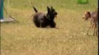 Breed All About It  Scottish Terrier
