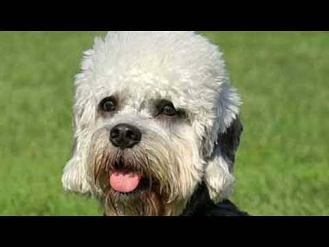 Amazing Facts on Dandie Dinmont Terrier | In Hindi | Dog Facts | Animal Channel Hindi