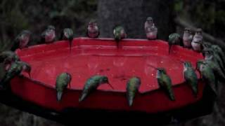 World's Largest Hummingbird Feeder, Dzerres, Swarm, Hummers