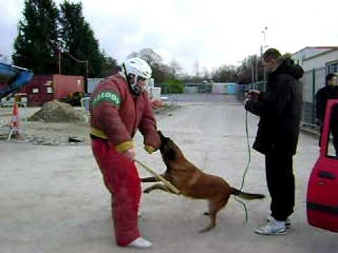 Huấn Luyện Chó nGhiẹp Vụ  Bảo Vệ