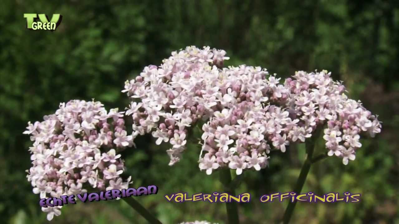 Valeriaana