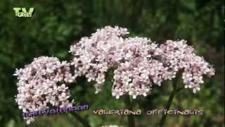 Echte valeriaan - Valeriana officinalis in my herb garden