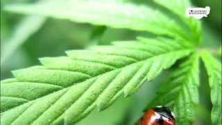 Marijuana Pest Control - 7 tips to fight pests