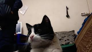 Котёнок реагирует на приложение кошка гуляет по рабочему столу