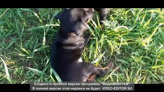 Ягдтерьеры гуляют на природе. Самая лучшая порода собак в мире. Возраст один месяц