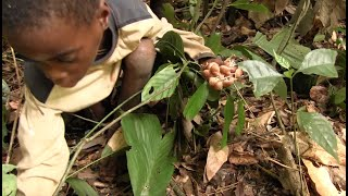 Mushroom collecting with Pygmy hunter-gatherer children in Congo rainforest