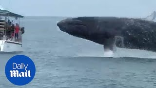 Humpback whale JUMPS out just few feet away from tourist boat