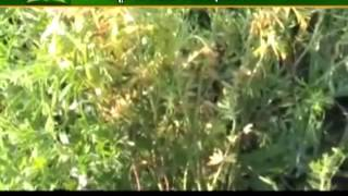 Know how to grow masoor dal in crops