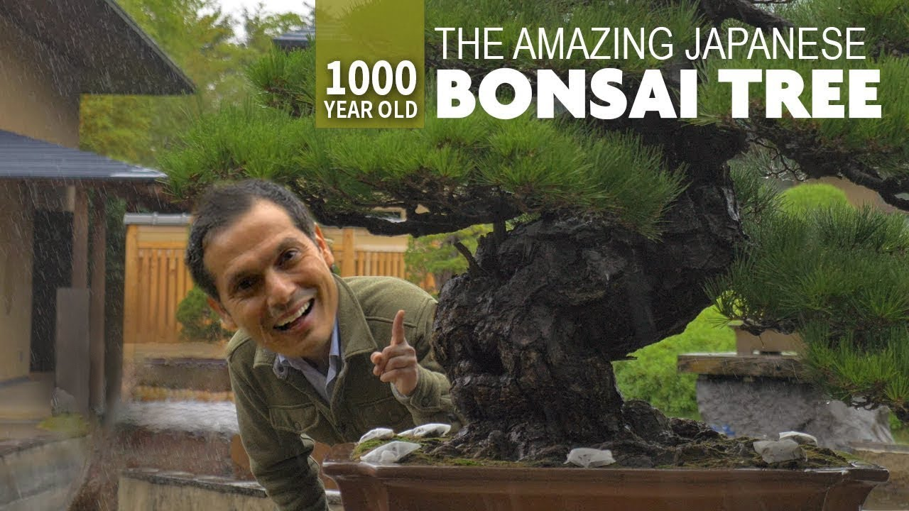 1000 Year Old Japanese Bonsai Tree Adventure Only In Japan Youtube