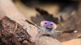 Dubstep Peacock Spider