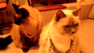 Самые смешные кошки – Любят ли кошки украшения?