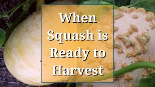 When Squash is Ready to Pick (Winter Squash/Pumpkins)