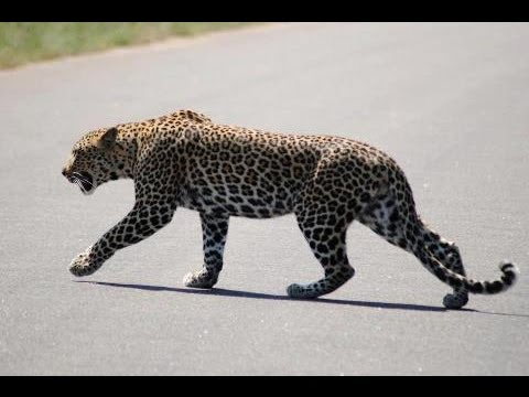 Leopard Marking Territory - 28th April 2013 - Latest Sightings