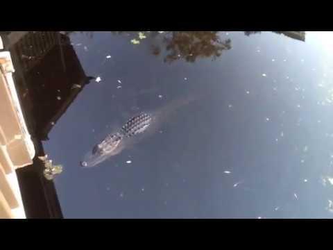 Alligator is a Welcomed Sight After Hurricane Matthew Waterside Hilton Head Island, SC