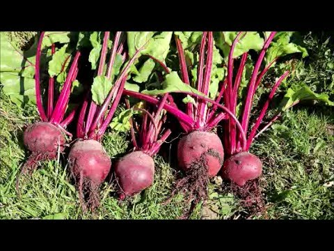 How to Grow Beetroot from Seed
