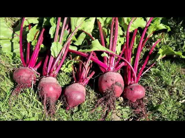 How To Grow Beetroot From Seed Youtube