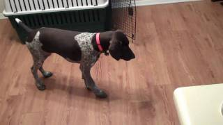 Dieter German Shorthaired Pointer Pointing At Fly