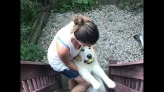 Golden Retriever Does Not Want to Come Inside
