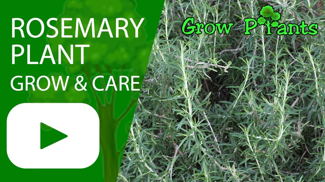Rosemary Plant Grow And Care Youtube