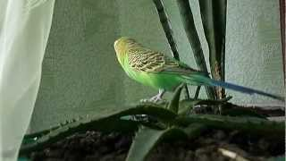Помогите,КАРАУЛ! Говорящий попугай Кеша.